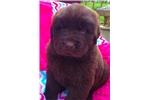 Picture of PENELOPE-AKC NEWFIE FEMALE