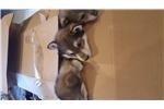 Picture of Big Dan-Timberwolf x Husky