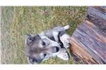 Picture of Female-Timberwolf x husky (Glory)