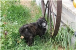 Picture of BEAUTIFUL BRINDLE BORDOODLES, READY NOW!
