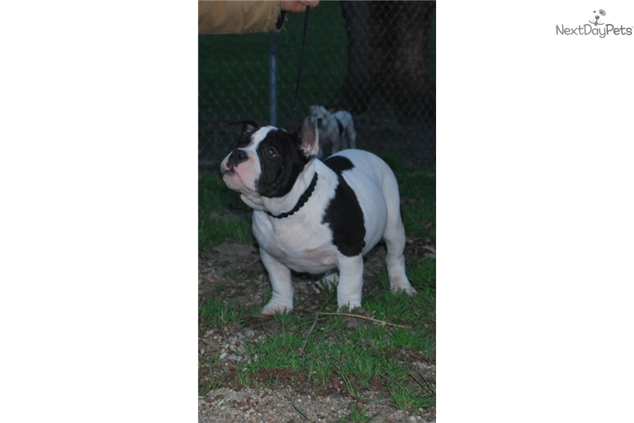 Bully Dog For Sale In Illinois