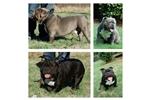 Picture of Mini olde english bulldog