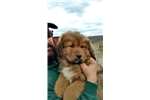 AKC registered Gold Tibetan Mastiff | Puppy at 49 weeks of age for sale
