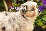 Picture of Toy Aussies Blue Merle with blue eyes