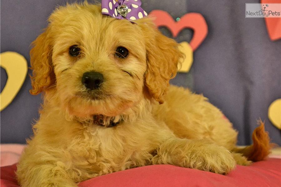 Goldendoodle Puppy For Sale Near Minneapolis St Paul Minnesota Fb766265 9ec1
