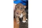 Teddy Roosevelt Terrier for sale