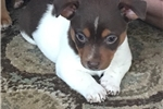 Picture of a Teddy Roosevelt Terrier Puppy
