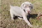 Picture of AKC Registered Silver Weimaraners