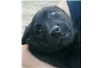 1 of 2 black females | Puppy at 28 weeks of age for sale