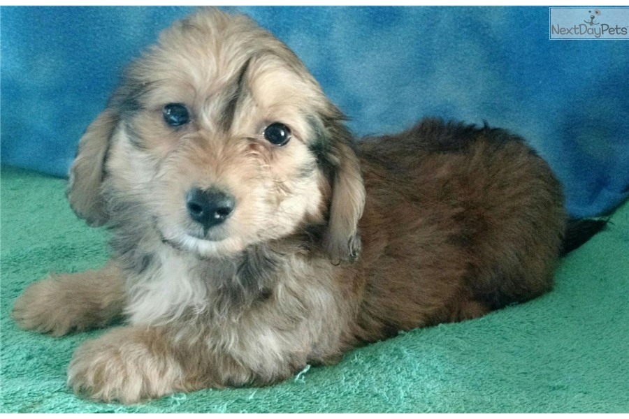 Toy Dachshund Puppies For Sale In Florida