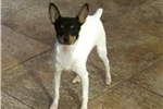 Picture of AKC Toy Fox Terrier Female