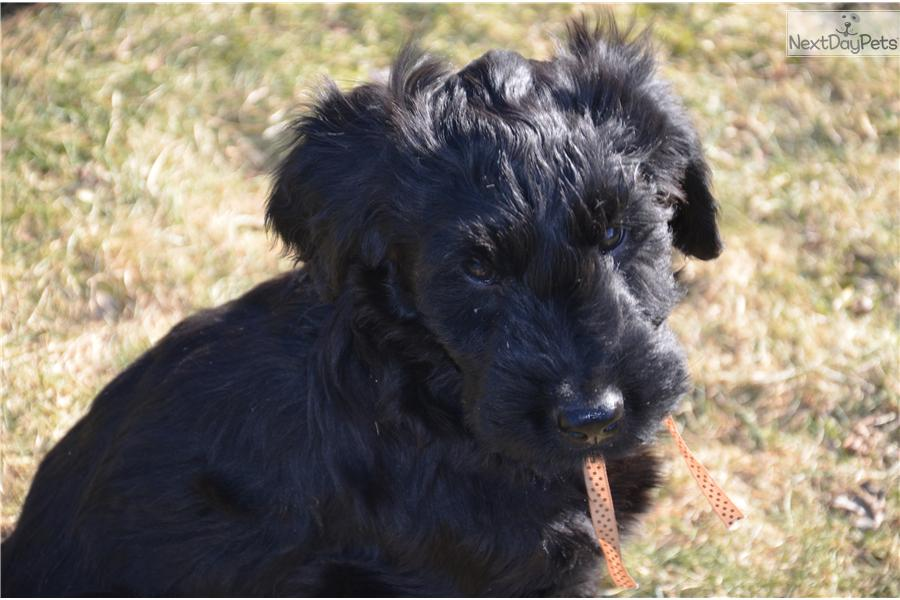 Briard for sale for $1,500, near Vancouver, British ...