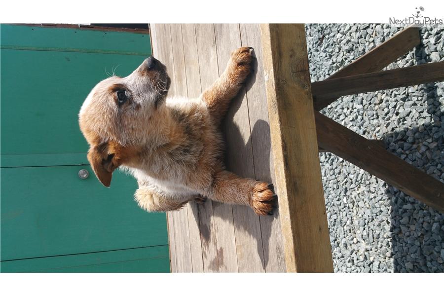 Australian Cattle Dog Puppies California