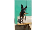 Picture of !!! BELGIAN MALINOIS !!!