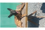 Picture of !!! BELGIAN MALINOIS PUPPIES !!!