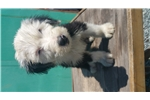 Picture of !!! OLD ENGLISH SHEEP DOG PUPPIES !!!