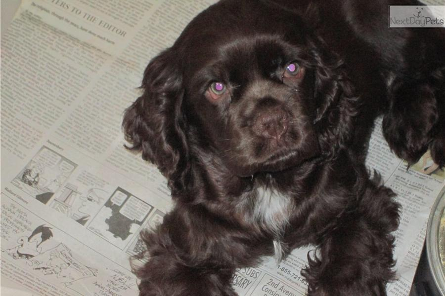 Cocker Spaniel For Sale For 350 Near Eastern Panhandle