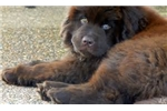 Extra large Brown pick female | Puppy at 10 weeks of age for sale