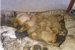 Picture of Vizsla hunting dogs litter #1