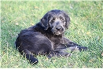 Picture of Shasta- Exceptional F1 Labradoodle
