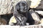 Picture of Grays- Exceptional F1 Labradoodle