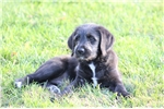 Picture of Antero- Exceptional F1 Labradoodle