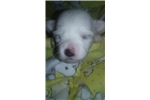 Picture of LILLY  CUP  A FEMALE COTON DE TULEAR PUP