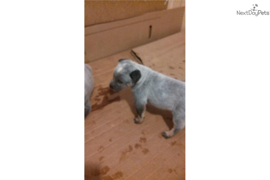 Australian Cattle Dog Puppy For Sale Bc