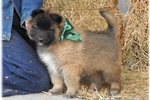Ranch raised Tervuren | Puppy at 14 weeks of age for sale