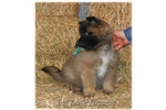Belgian Tervuren for sale