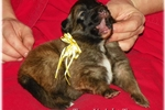 Picture of Ranch bred/Living room raised AKC Tervuren