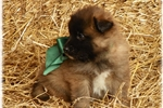 Picture of Green ~ Ranch raised Tervuren