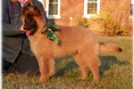 Green ~ Ranch raised Tervuren | Puppy at 32 weeks of age for sale