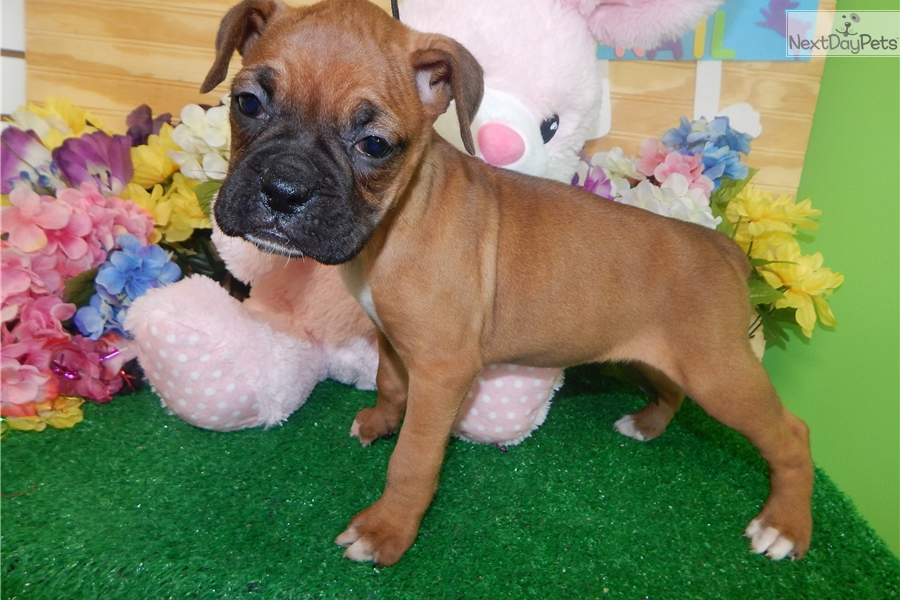 Boxer Dog For Sale In Chicago