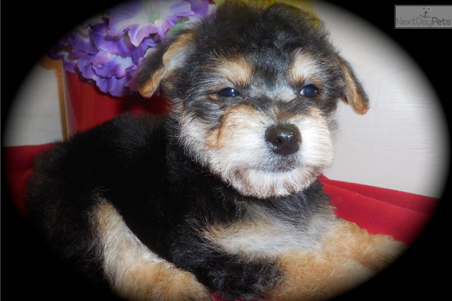 Morkie Puppies For Sale In Chicago Illinois