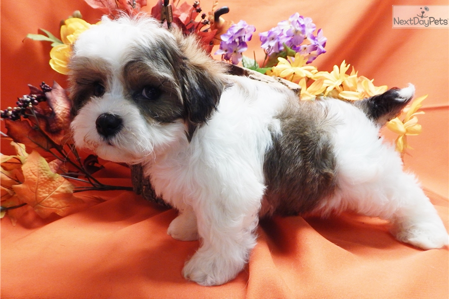 Teddy bear puppies for sale in chicago