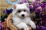 Picture of Min. American Eskimo Baby Boy. Vet Checked.