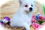 Picture of Min. American Eskimo Puppy. Great with KIDS!