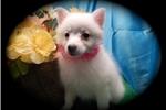 Picture of Chicago Mini. American Eskimo Purebred Super Sweet