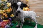 Picture of Aust. Cattledog Mix Puppy. Super Smart!