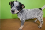 Picture of Aust. Cattledog Mix. Great with Kids. Vet Checked.