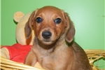 Picture of Chicago Dachshund Mix Type Baby. Prespoiled.