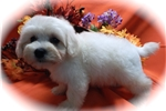 Picture of Chicago Havapoo Baby. Nonshedding/Allergy Free.