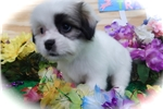 Picture of Maltipoo Mix Type. Great 4 Kids. Vet Checked