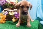 Picture of Chicago Aust. Shepherd Mix Type . Great 4 KIDS