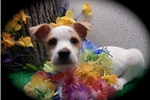Picture of  Jacshire Puppy. great with KIDS!