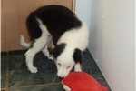 Picture of Border Collie Mix Type. Great 4 KIDS. Super Smart.