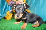 Picture of Mini. Dachshund Mix Type puppy. Loves to Play.