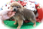 Picture of Chicago PomChi Baby Girl. Vet. Checked.