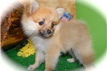 Picture of Chicago Female Pomeranian. Great 4 KIDS.